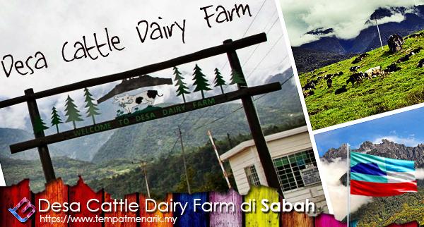 desa cattle dairy farm kundasang sabah tempat menarik