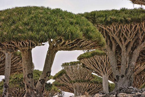 dragon tree socotra is yemen 9855361935