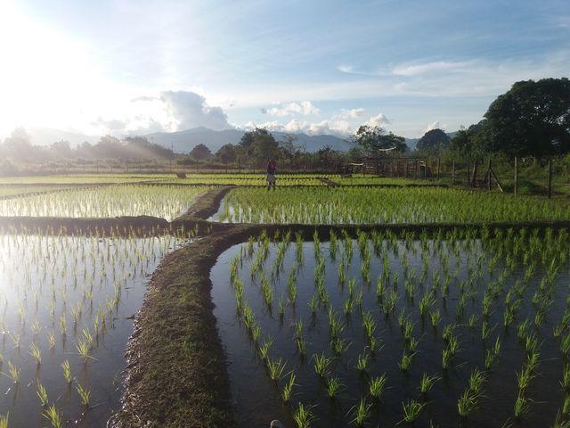 pemandangan di sawah padi