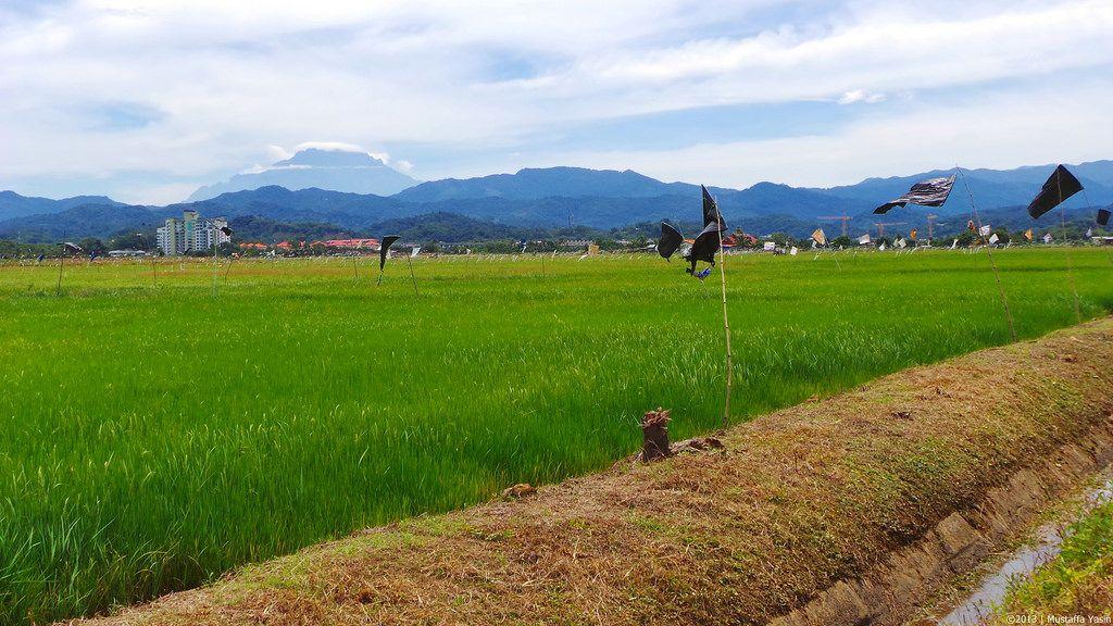 pemandangan gunung kinabalu di sawah padi penampang