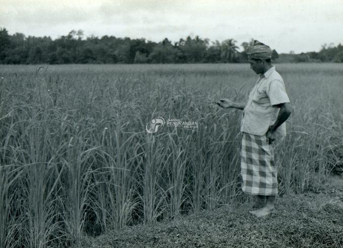 pemandangan sawah padi di sekitar malaysia