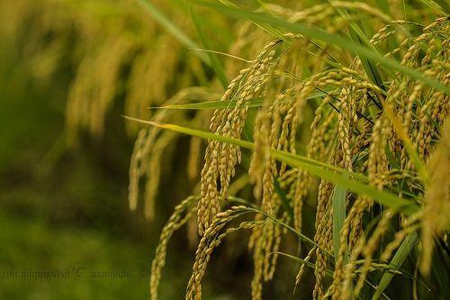 gambar pemandangan sawah padi dari dekat national treasure city